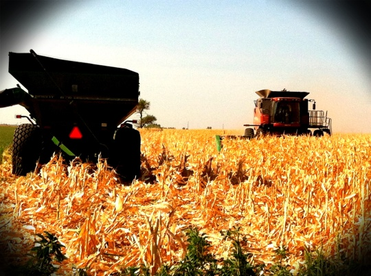 Harvesting some dryland corn.