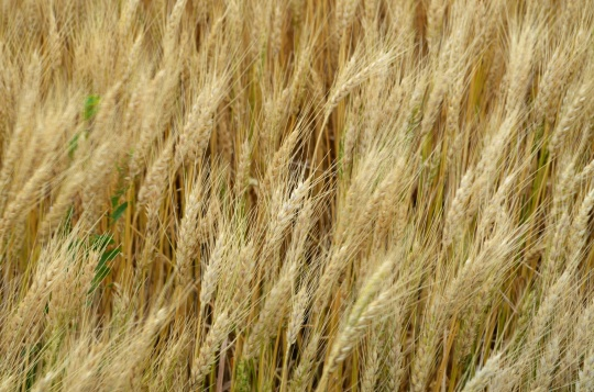 Hard Red Winter Wheat