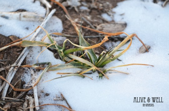 The warm temperatures have melted the snow leaving the wheat vulnerable.
