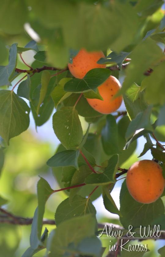 Tiny apricots heavily fill one of my trees.
